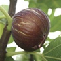 Care & Cultivation Of Figs