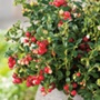 Care & Cultivation Of Blueberries, Cranberries & Lingonberries